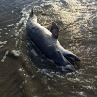 Golfo del Messico, fu la marea nera del 2010 a provocare la morte di 1281 cetacei
