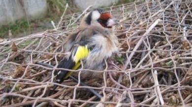 Otto milioni di uccelli protetti  uccisi da bracconieri in Italia