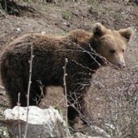 Abruzzo: un orsetto si è perso, ora si teme per la sua mamma