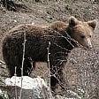 Abruzzo: trovato orsetto  di 3 mesi solo nel parco  Si teme per la madre