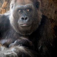 Ebola e deforestazione: gorilla sulla strada dell'estinzione