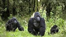 Ebola e deforestazione:  gorilla verso estinzione