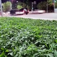 Kazakistan: marijuana per sbaglio nelle aiuole della capitale