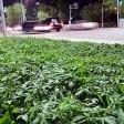 Kazakistan: aiuola sospetta c'è marijuana per errore