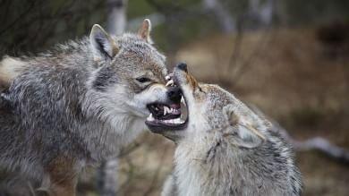 Prima del cane, quando il lupo  era il miglior amico dell'uomo   Foto