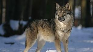 Prima del cane, c'era il lupo  come miglior amico dell'uomo