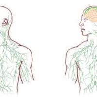 Cervello e sistema linfatico, scoperta relazione: svolta per sclerosi multipla e...