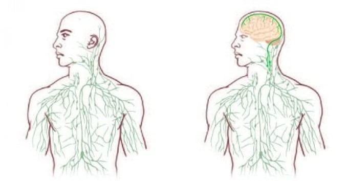 Cervello e sistema linfatico, scoperta relazione: svolta per sclerosi multipla e Alzheimer?