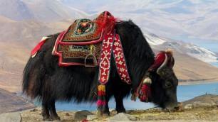 Qui Qinghai, Cina: siamo nell'ultimo paradiso degli animali /   Foto