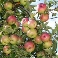 """""""Troppi pesticidi nei meleti. La soluzione è l'agricoltura bio"""""""