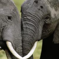 Elefanti, la guerra al bracconaggio può essere vinta con il Dna
