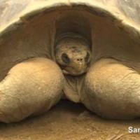Addio Speed, tartaruga di 150 anni star dello zoo di San Diego