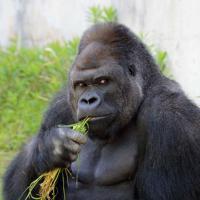 Giappone, tutte pazze per Shabani: il gorilla diventa una star