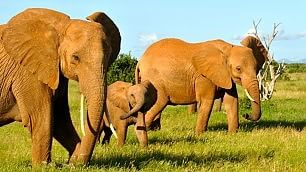 Kenya, salvi elefanti rossi anche grazie a Hollywood