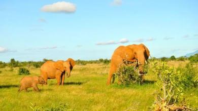 Gli elefanti rossi del Kenya sono salvi ed è anche merito di Hollywood   Foto