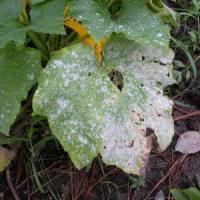 Addio pesticidi, scoperta la chiave di autodifesa delle piante