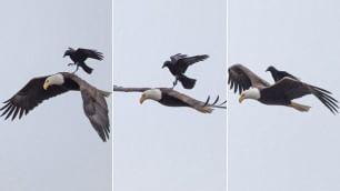 L'aquila dà un passaggio al corvo Lo scatto del fotografo dilettante