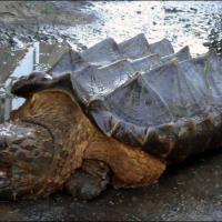 Russia, il mistero della tartaruga dinosauro