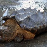 """Il mistero della """"tartaruga dinosauro"""" spuntata dal fiume in Russia"""