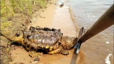 """Il mistero della """"tartaruga dinosauro"""" spuntata dal fiume in Russia   Foto   -   Video"""