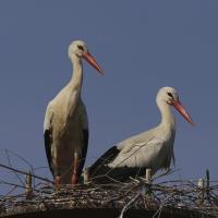 Riccione, è arrivata la cicogna: tre pulcini nel nido di Hula