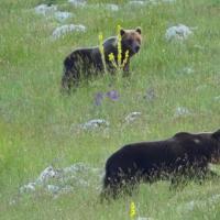 Tre orsi e uno zoologo: la magia del Parco Nazionale d'Abruzzo, Lazio e Molise