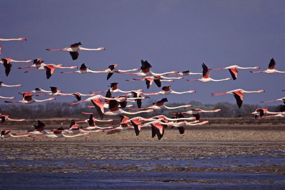 Sicilia, storica nidificazione del fenicottero rosa: nati 36 pulcini