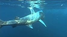 La rete supertecnologica salverà lo squalo elefante