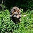 Uomini e lupi La convivenza difficile
