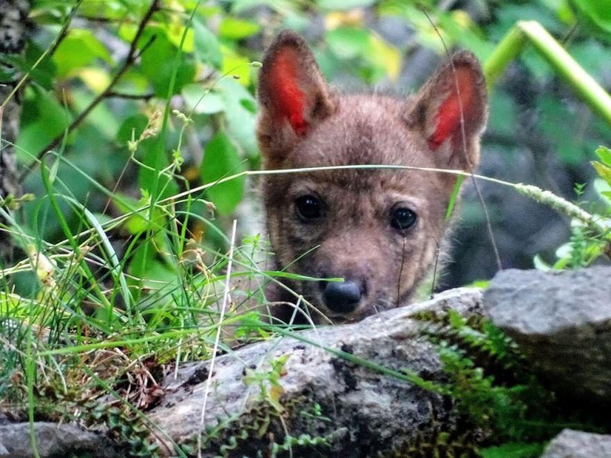Abruzzo, 5 cuccioli: si allarga branco della lupa 'adottata' da Dacia Maraini