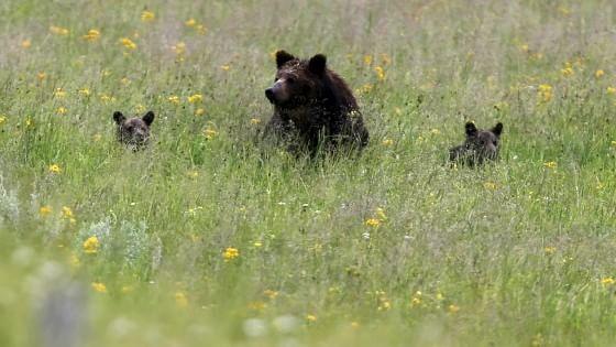 """""""Gli orsi sono troppi"""". E il Trentino ora vuole la licenza per ucciderli 012455397-57050216-626a-4f8f-a1b9-77566da79ae4"""