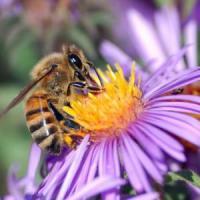 Api in declino. Senza polline a rischio frutta e verdura, mortalità in aumento