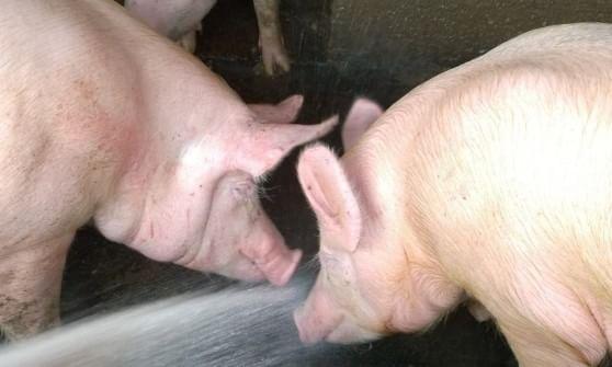 Mucche stressate per l'afa: 20 milioni di litri di latte in meno in Lombardia, galline e suini in affanno