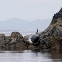 Canada, orca resta incastrata sugli scogli: salvata dai volontari