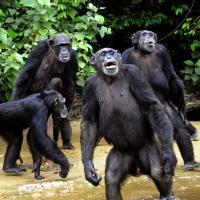 Liberia, usati e abbandonati: la lotta per salvare 66 scimpanzé cavie di sperimentazioni scientifiche