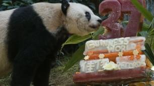 Una torta gigante per Jia Jia il panda dei record ha 37 anni