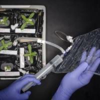 Ortaggi 'spaziali' che aiuteranno il sistema immunitario degli astronauti