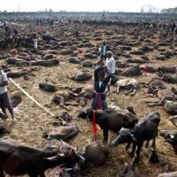 Nepal,  festa di Gadhimai: stop alla decapitazione di migliaia di animali