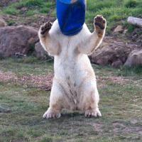 Gb, il caldo non dà tregua e l'orso si mette il secchio per cappello