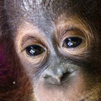 Borneo, la lotta per salvare il piccolo orango che non vuole vivere