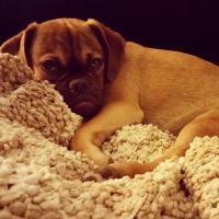 Earl, il cucciolo puggle imbronciato diventa virale
