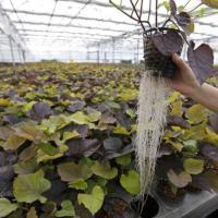 'Mungere' le radici delle piante carnivore per creare farmaci e ingredienti di bellezza...