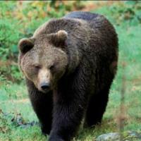 """Ora l'orso può essere anche """"dannoso"""". Galletti accoglie le richieste del Trentino"""
