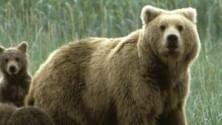 """Dopo caso Daniza creata categoria """"orso dannoso"""""""