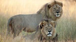 """Ricercatore smentisce morte  fratello di Cecil: """"E' vivo e vegeto""""    La morte  del leone simbolo  ft"""