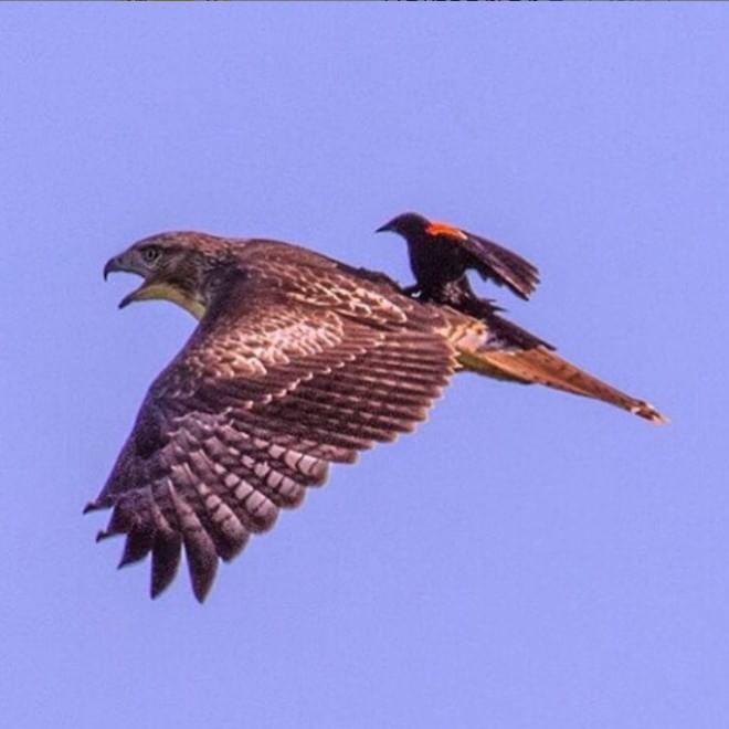 Il passaggio: il merlo dalle ali rosse viaggia sulla poiana