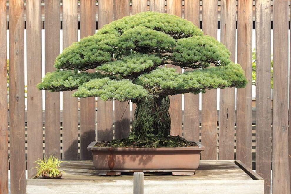 Hiroshima, il bonsai di 390 anni che è sopravvissuto alla bomba atomica