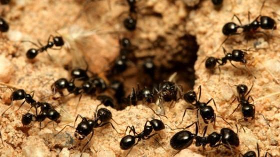 Formiche, la prima mappa globale: ci sono 15mila specie