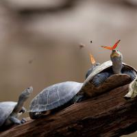 Farfalle e lacrime di tartaruga, la foto più bella per Wikimedia commons