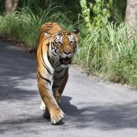 India allarme tigri: morti 41 esemplari in un anno